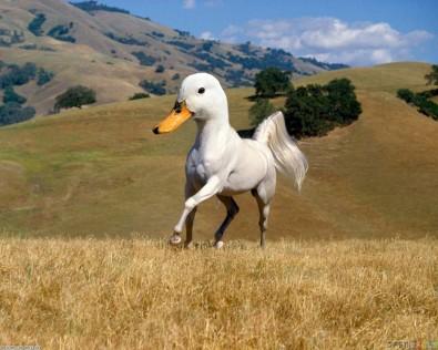 duckhorse